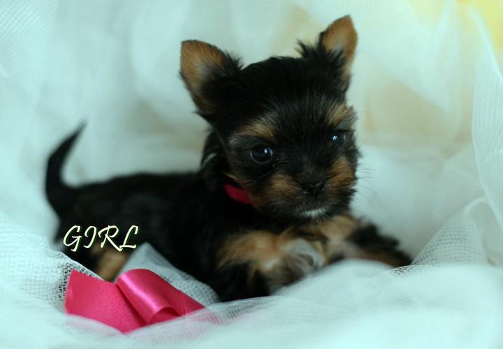 ?!!Y.o.R.k.i.e Pupp.i.e.s For n.e.w H.o.m.e.s,(8153174959/Ready Now 12 Weeks Old #