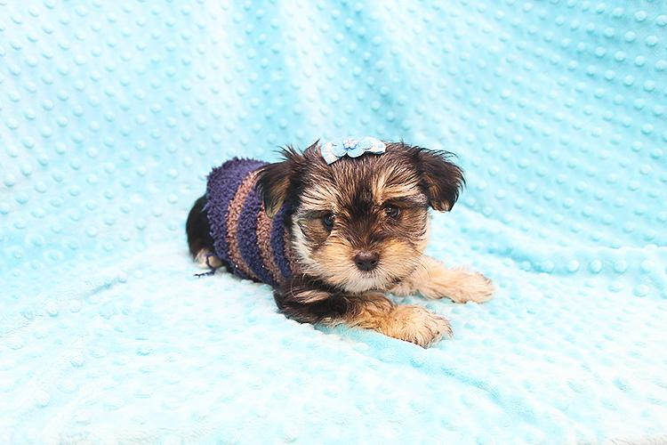 PennySaver | Buy Cutest Morkie puppy in Orange, California, USA