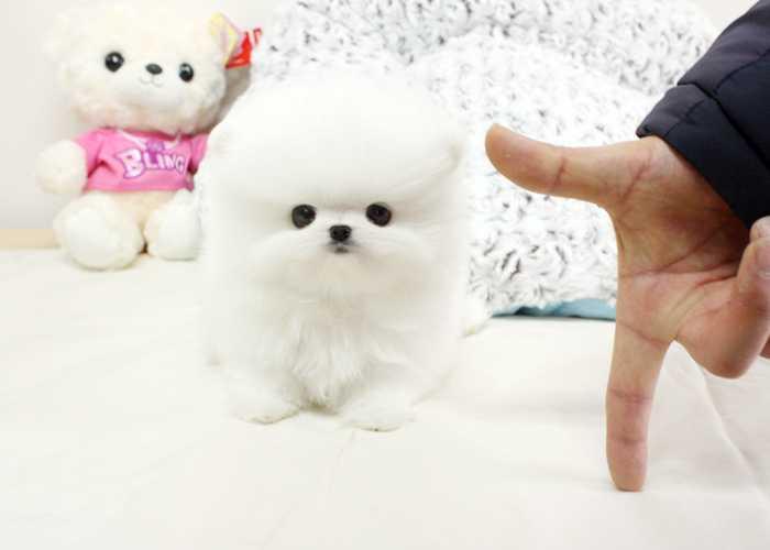 Socialized P.o.m.e.r.a.n.i.a.n Puppie.s !!!sms (252) 678-5431