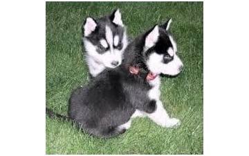 CUTE S.i.b.e.r.i.a.n H.u.s.k.y Puppies: contact us at.(980) 404-9844