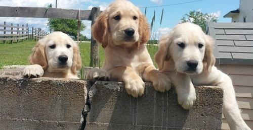 FREE Beautiful  Pu.pp.ies Available Golden Retriever