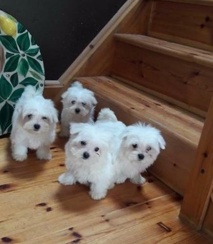 Briliant Bichon Fise puppies available now