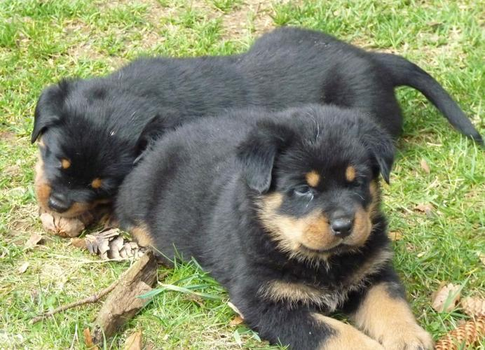 Two Gorgeous R.o.t.t.w.e.i.l.e.r Puppies Available. (719) 838-2388