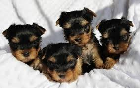 ?Y.o.R.k.i.e P.upp.i.e.s For F.r.e.e, Ready Now 12 Weeks Old # 16612350747
