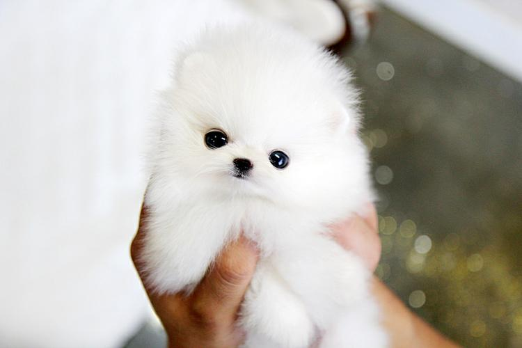 AKC REGISTERED POMERANIANPUPPIES