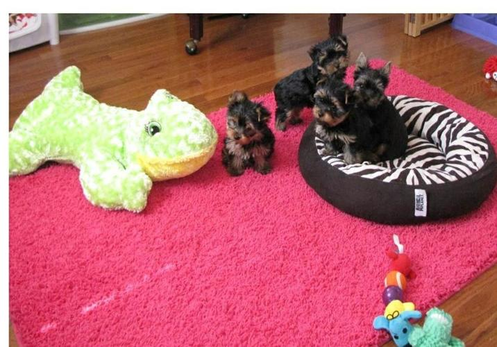 My Yorkie Pups R  E A D Y  Text (678)586 4645