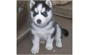 Gorgeous pomsky puppies looking for good homes//(980) 404-9844