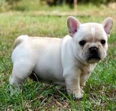 Free Healthy French Bulldong Puppies@.k