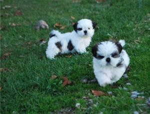 S.h.i.h T.z.u Puppies (470) 248-3092