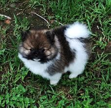 ##Fantastic Female and Male poms puppies for new home#(302)400-4672