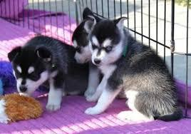 ??? Healthy Siberia.n Husk.y puppies!!! (770) 966-3798
