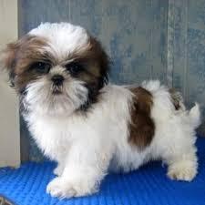 free shih tzu puppies ???? (734) 400-4789