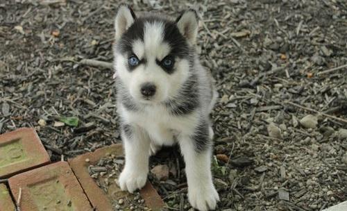 FREE Quality siberians huskys Puppies:contact us at (757) 231-5246