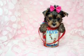 Quality Teacup Yorkies Puppies:....**