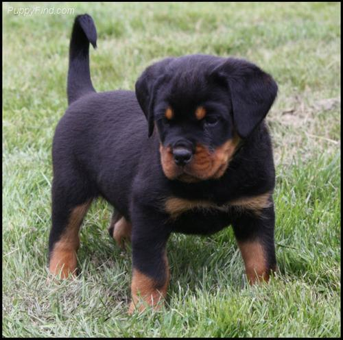 PennySaver | 12 weeks old Rottweiler Puppies for Adoption in