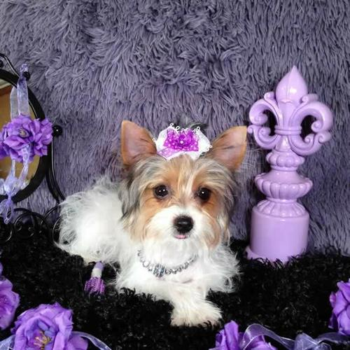 /#/Charming Female and Male Y.o.r.k.s.h.i.r. puppies/#/727) 314-8920