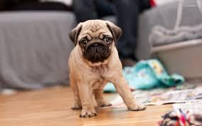 Healthy P.u.G Puppie.s puppies!!!sms (302) 400-4067