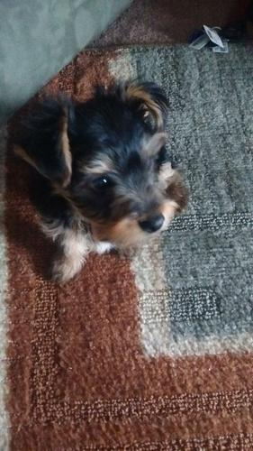 # # ??? Quality Teacup Yorkies Puppies at(203) 296-0014