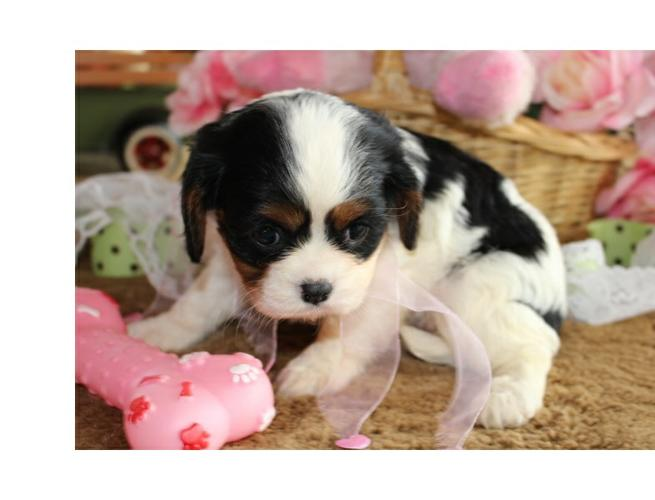 Miss Peony  Cavalier King Charles Spaniel Puppy