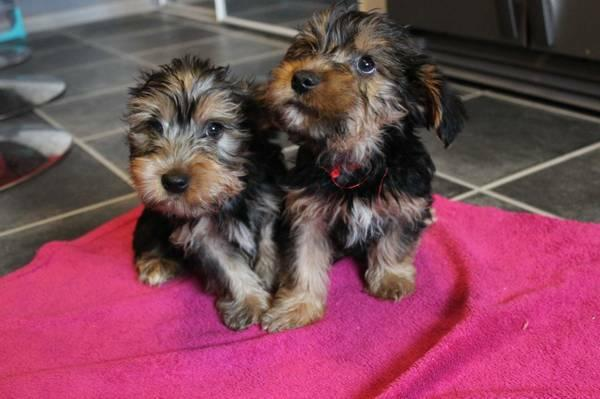 Pretty male and female Tea Cup Y.O.R.K.I.E PUPPIES for a good