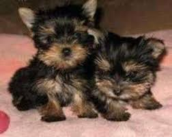 Teacup Y.o.r.k.i.e Puppies For sale .Males and females available.Interested person should email fo