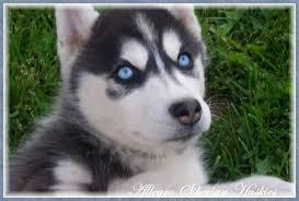 Quality siberians huskys Puppies:contact us at  (651) 347-6712