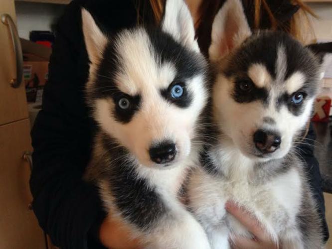 2 beautiful female an male Husky Puppies