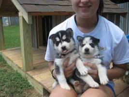 CUTIE S.I.B.E.R.I.A.N H.U.S.K.Y Puppies: contact us at (302) 5832817