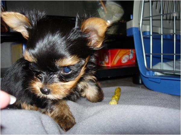yorkiez puppiesz for new yearz Good Home #((757-387-1109