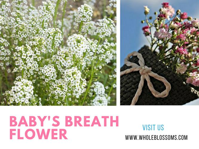 Order Baby's Breath Flowers Online