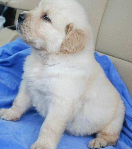 male and female GOLDE.N RETRIEVER Pu.ppies ) Need Hom (442) 242-0513