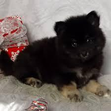 ?Awesome Charming Female and Male Po.m.sky Pu.ppies??  (617) 829-3613
