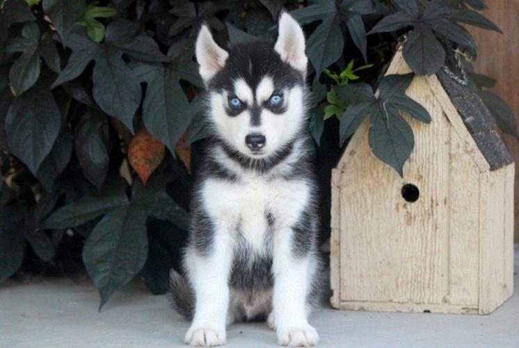 Free Siberian Husky Puppies  (929) 210-7311