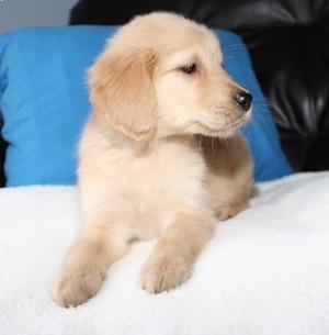 Top Quality Golde.n Retrieve.r Pups . 505 x 657 x 8012