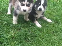 %$% Free Fantastic Female and Male H.u.s.ky Pu.pp.ies for new home %$% (908) 280-2663