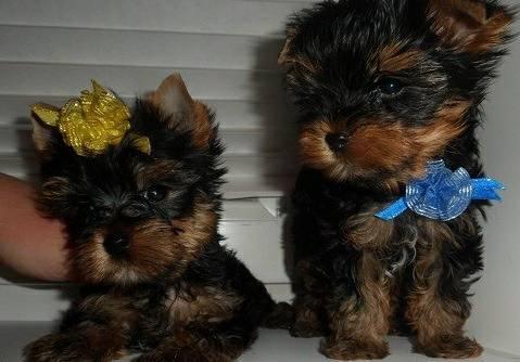 Cute Y.O.R.K.I.E Puppie.s(651) 560-8961