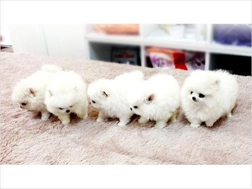 Sweet Teacup Pomeranian Puppies-909-296-7704