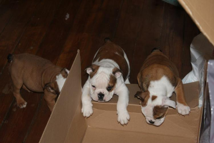 Two Gorgeous English B.u.l.l.d.o.g Puppies  Aavailable
