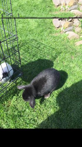 Wanted 1 Or 2 Female Mini Lops Or Lionlop