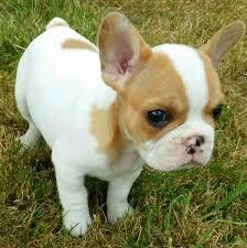 Free Healthy French Bulldong Puppies@...f