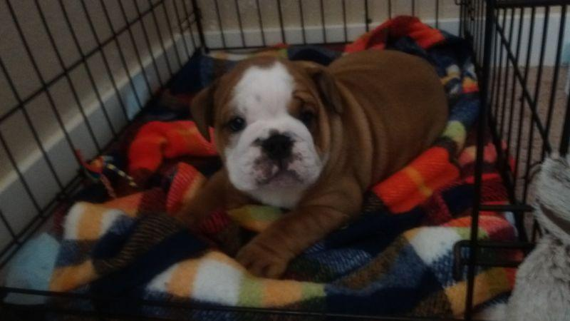 Two Cute and Gorgeous English B.u.l.l.d.o.g Puppies  Aavailable