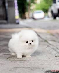 Healthy P.O.m.A.R.A.N.I.A.N puppies for free!!!