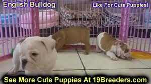 E.n.g.l.i.s.h B.u.l..l.d.o.g puppy  ready to go to good homes