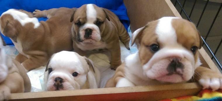 A.d.o.r.a.b.le E.n.g.l.i.s.h B.u.l.l.d.o.g puppies.