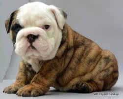 E.n.g.l.i.s.h B.u.l..l.d.o.g puppy  ready to go to good homes.