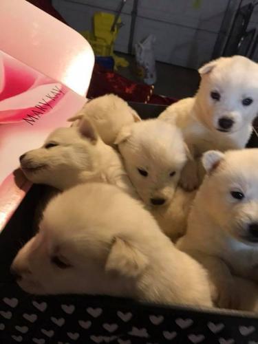 ***Adorable Siberian Husky Puppies***
