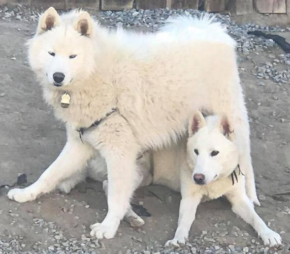 +++Gorgeous White Female Siberian Husky With Beautiful Hazel Eyes+++