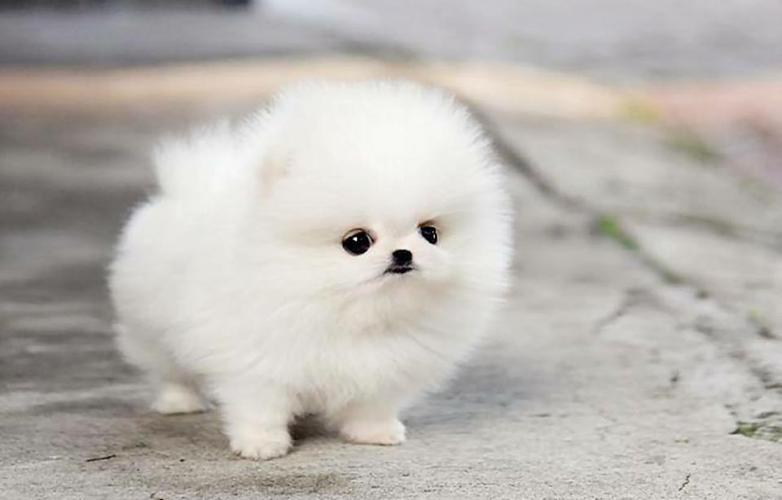 wonderful pomeranian puppies for adoption