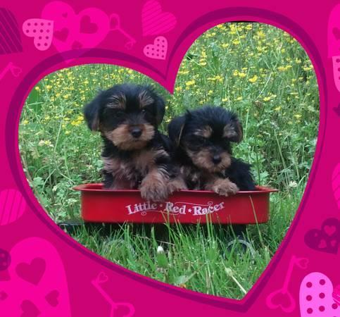Pretty Female and Male Tea Cup Y.O.R.K.I.E puppies