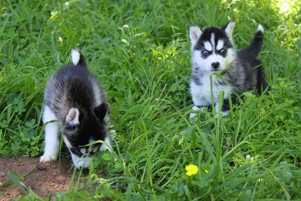Healthy Siberia.n Husk.y puppies!!!(312) 600-2031